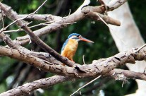 Elusive Kingfisher